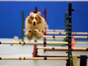 Aussie doing agility jump