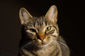 tabby cat on black background