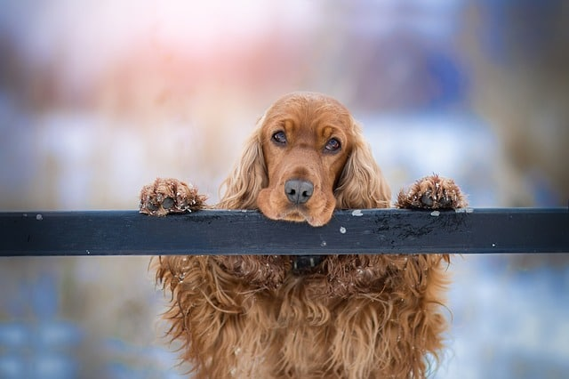 Cocker Spaniel looking sad