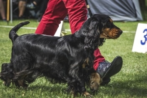 spaniel in breed show
