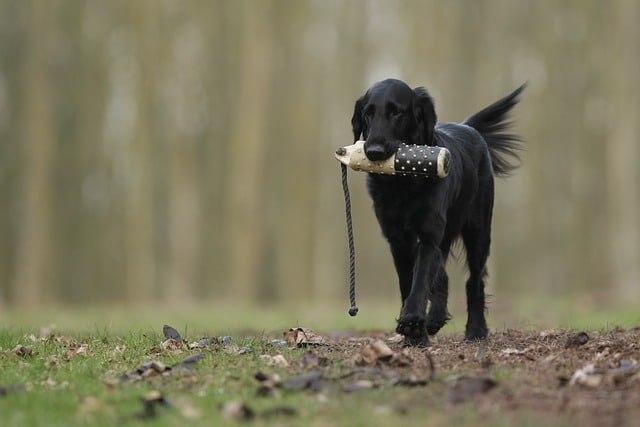 Flat Coat Retriever retrieving a dummy
