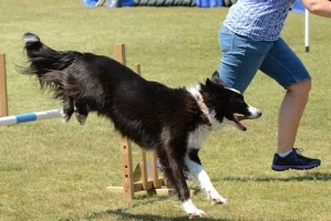 border collie doing agility