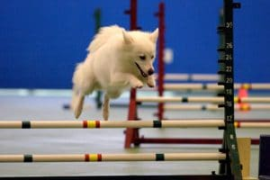 American Eskimo jumping in agility course