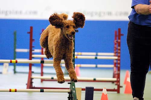 Poodle jumping over agility jump