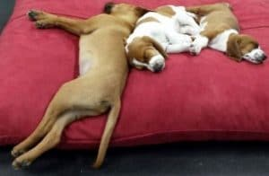 Puppies sleeping on a red pillow