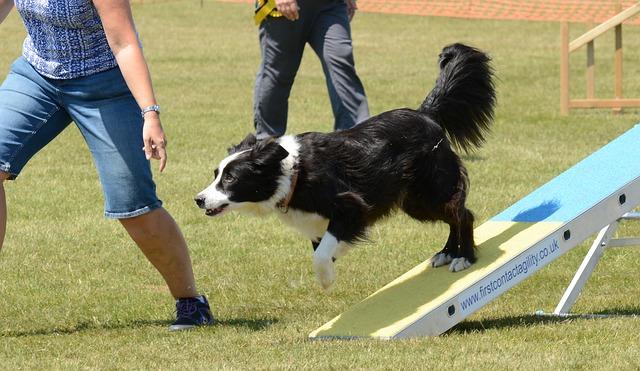 Border Collie on agility course