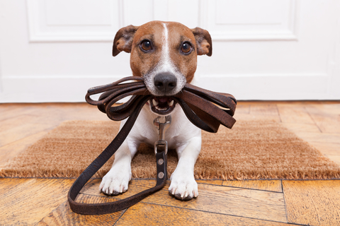 Dog holding his leash in his mouth