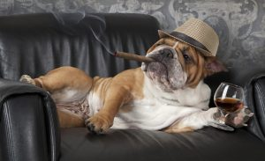 Humorous photograph of English Bulldog resting in a black leather chair with a cigar and glass of cognac.
