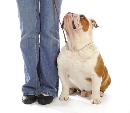 Attentive bulldog looking up at his handler