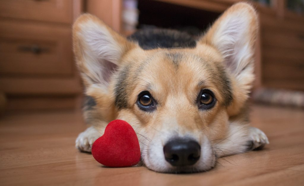 Adorable corgi with red heart valentine